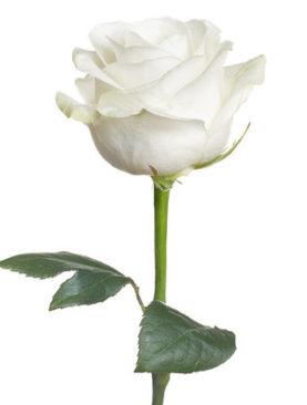 1 Trandafir alb